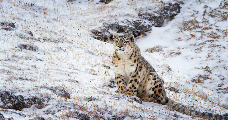 DisneyNature's GHOST OF THE MOUNTAINS now on digital and on demand